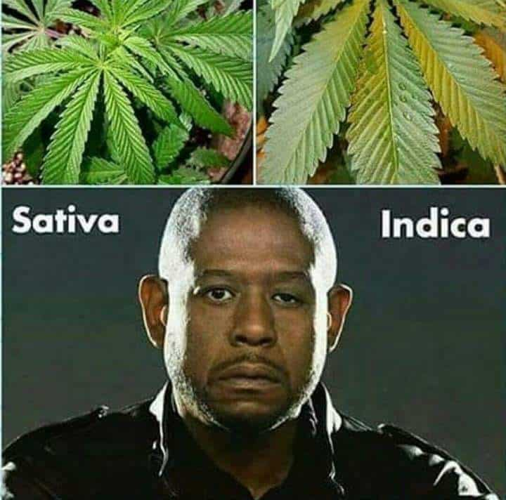 Sativa And Indica Memes 20